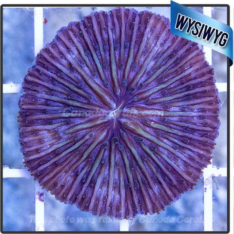 Purple Fungia Plate Coral WYSIWYG