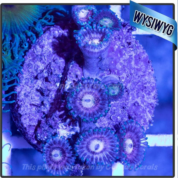 Purple Speckled Zoanthid WYSIWYG 2