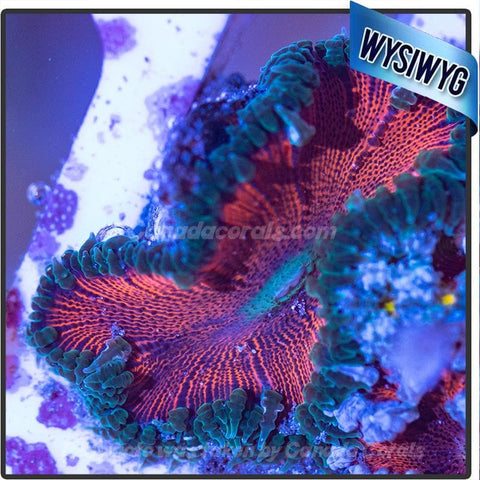 WYSIWYG Rock Flower Anemone 85