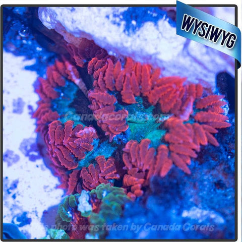 WYSIWYG Rock Flower Anemone 77