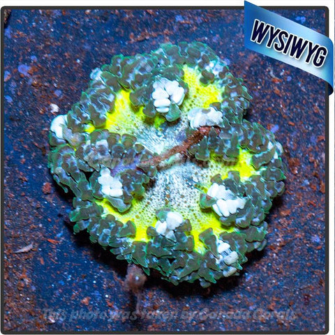WYSIWYG Rock Flower Anemone 78