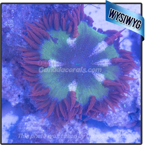 WYSIWYG Rock Flower Anemone 41