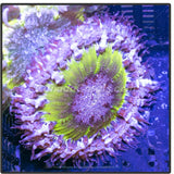 Purple Skirted Fancy Yellow Rock Flower Anemone