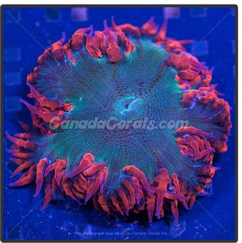 Super Red Skirted Rock Flower Anemone