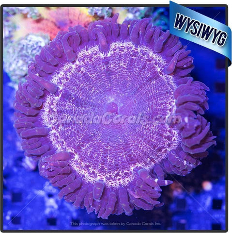Land Before Time Rock Flower Anemone WYSIWYG 2