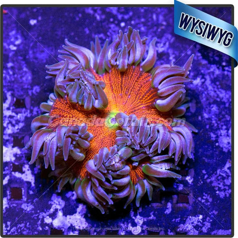 Fire and Ice Rock Flower Anemone WYSIWYG 3