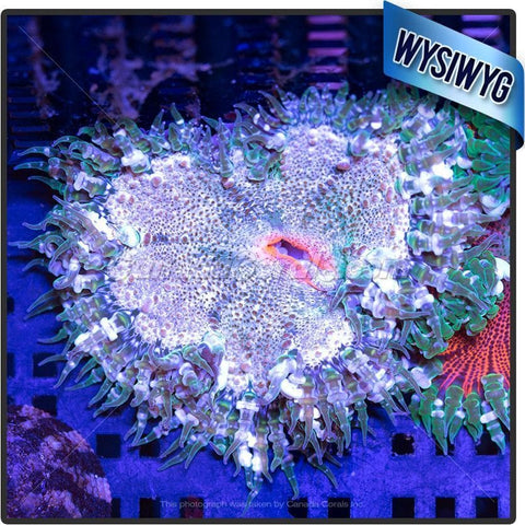On Target Rock Flower Anemone WYSIWYG 2