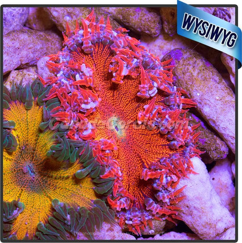 Blood Hound Rock Flower Anemone WYSIWYG 4