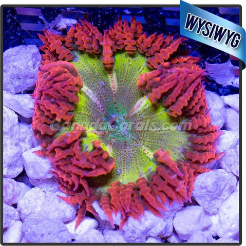 Ultra Dragon Egg Rock Flower Anemone WYSIWYG 3