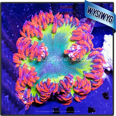 Ultra Dragon Egg Rock Flower Anemone WYSIWYG 6