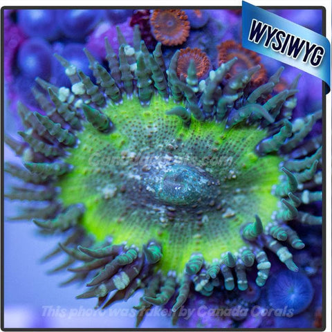 WYSIWYG Rock Flower Anemone 2