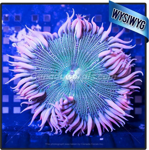 Green Centered Fancy Pink Panther Rock Flower Anemone WYSIWYG