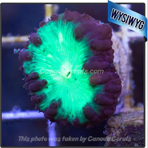 Australian Neon Green and Purple Blastomussa WYSIWYG - Canada Corals