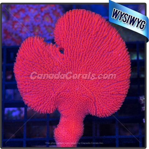 Red/Orange Fan Sea Sponge WYSIWYG 2