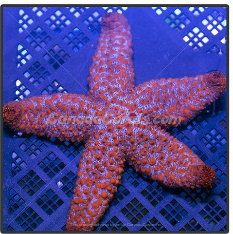 Orange Ridged Starfish