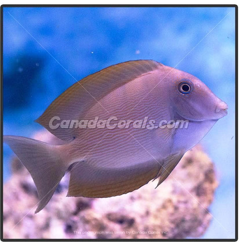 Striped Bristletooth Tang (Blue Spot) - Canada Corals