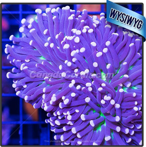 Extreme Purple Torch Euphyllia WYSIWYG