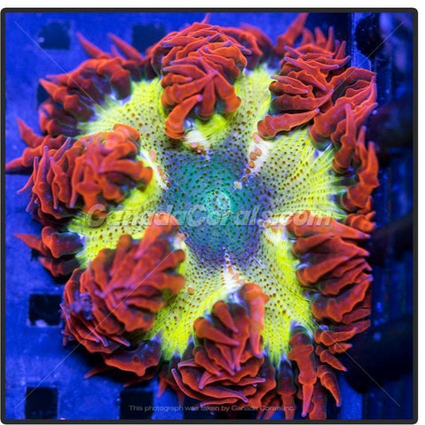 Ultra Dragon Egg Rock Flower Anemone
