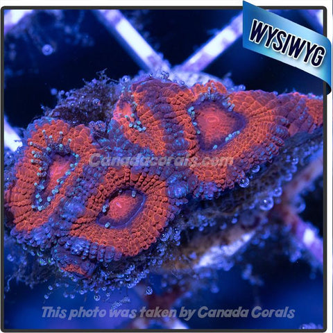 Volcano Acan Micromussa WYSIWYG 2 - Canada Corals