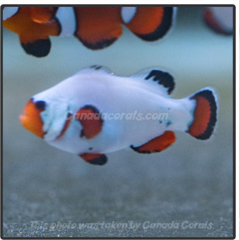 Locally Bred Wyoming White Clownfish - Canada Corals