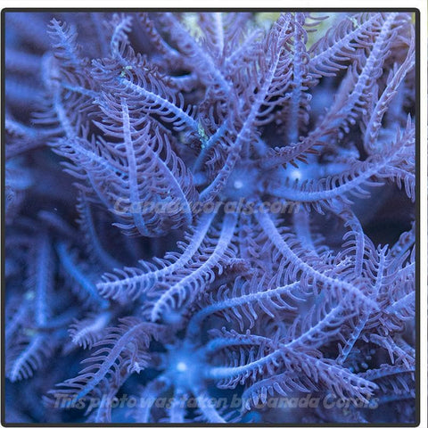 Purple Pink Anthelia Frag