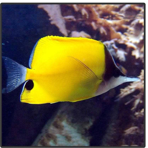 Yellow Long Nose Butterflyfish - Canada Corals
