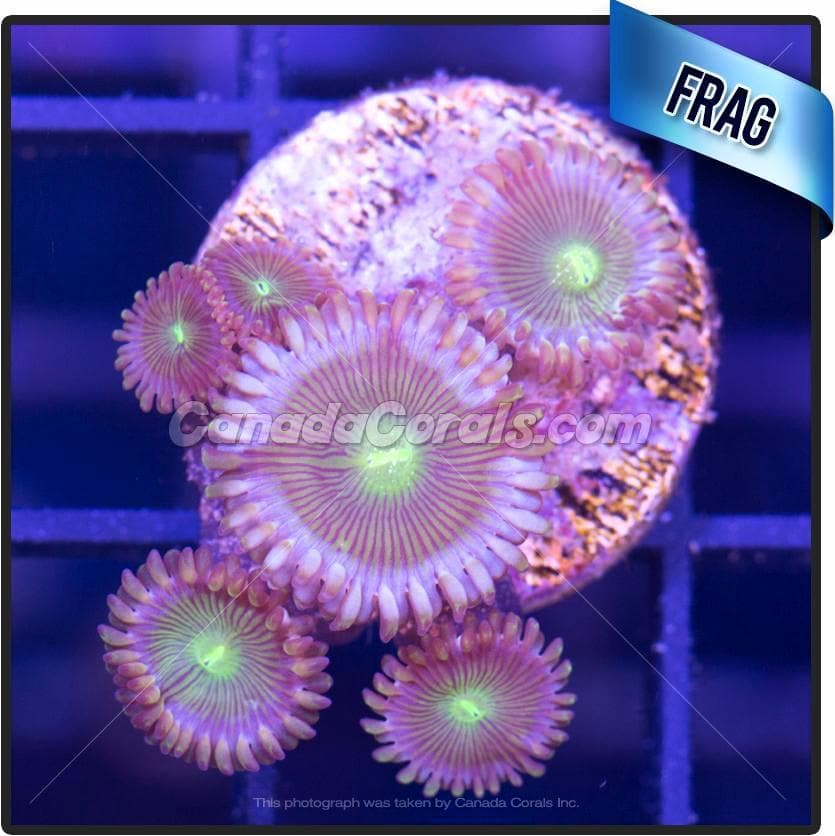 Blue Ring People Eater Palythoa Frag