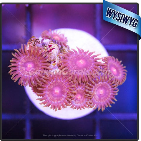 Golden Boy Zoanthid WYSIWYG