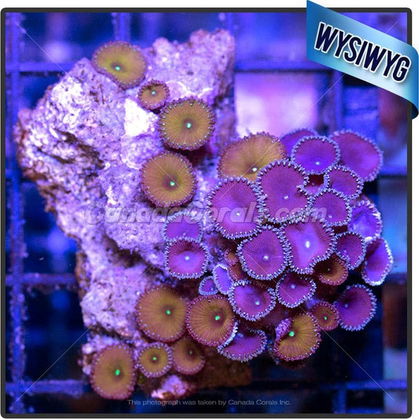 Jason Fox Cornbred Nuclear & Purple Death Zoanthid WYSIWYG