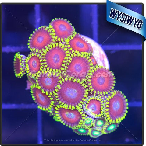 Assorted Bright Zoanthid WYSIWYG 4