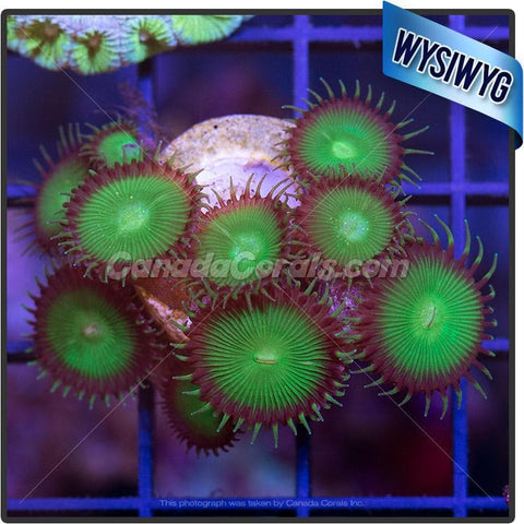 Chocolate Chip Mint Sunflower Zoanthid WYSIWYG 2