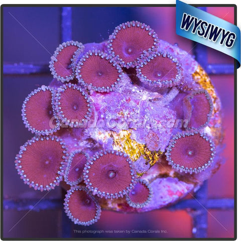 Jason Fox Purple Death Zoanthid WYSIWYG 5