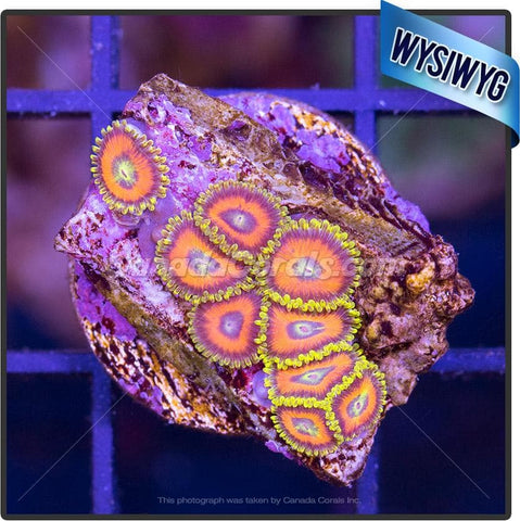 Eagle Eye Zoanthid WYSIWYG 6