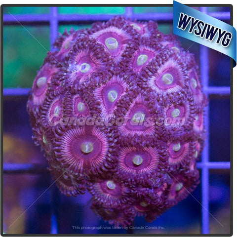 Cat's Eye Zoanthid WYSIWYG