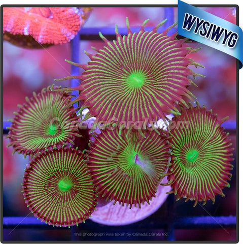 Chocolate Chip Mint Sunflower Zoanthid WYSIWYG 6