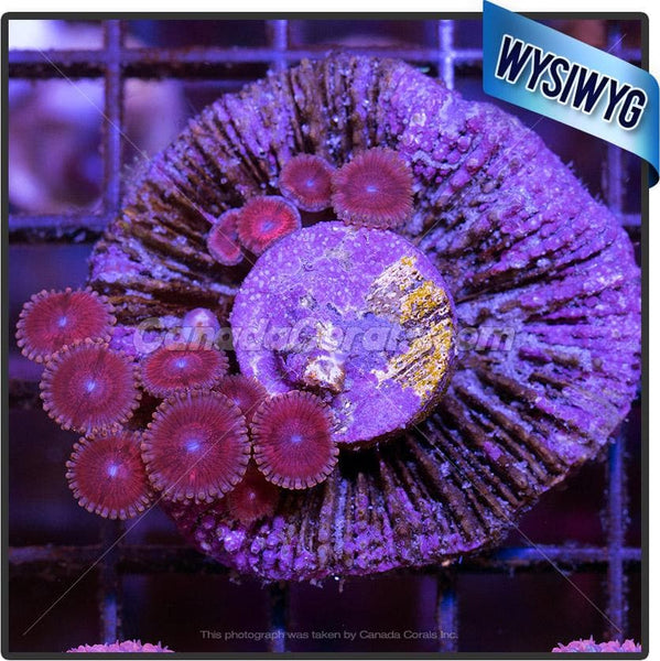 Legally Blonde Zoanthid WYSIWYG 11