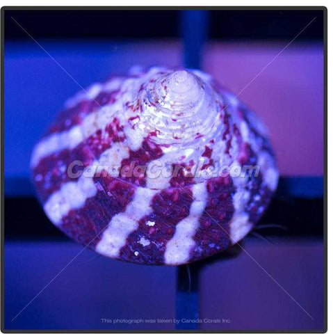 Banded Trochus Snail - Canada Corals