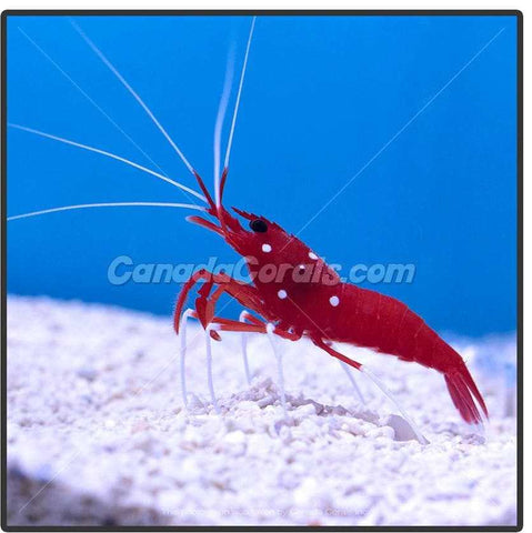 Blood Red Fire Shrimp - Canada Corals