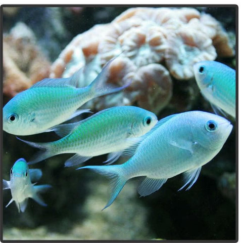 Blue/Green Chromis - Canada Corals