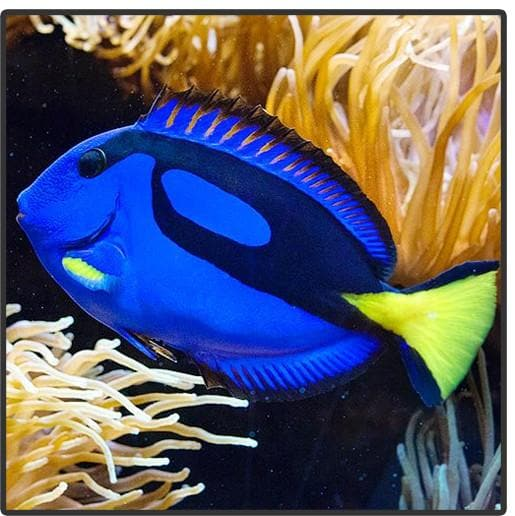 Blue Hippo Tang (Blue Surgeonfish)