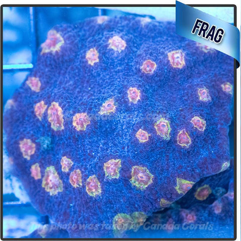 Yellow Eye Chalice Frags - Canada Corals
