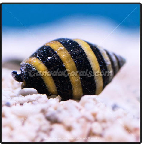 Bumble Bee Snail - Canada Corals