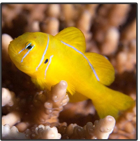 Citrinus Clown Goby