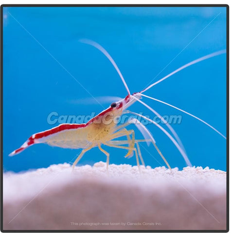 Skunk Cleaner Shrimp - Canada Corals