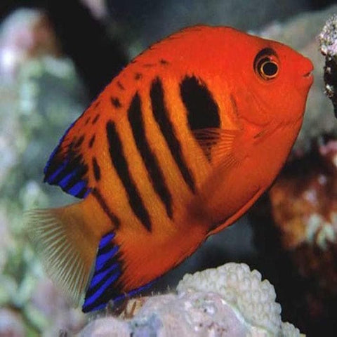 Flame Angelfish - Canada Corals