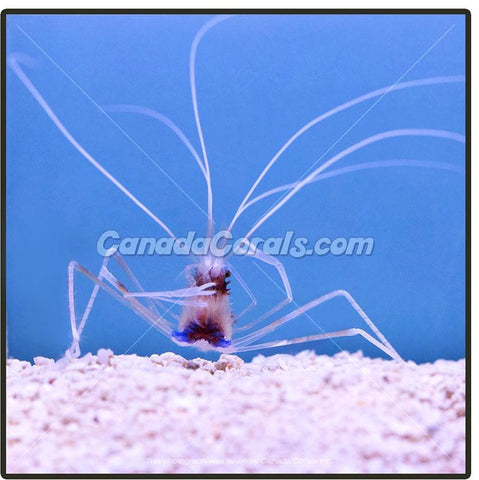 Clawless Reef Safe Coral Banded Shrimp