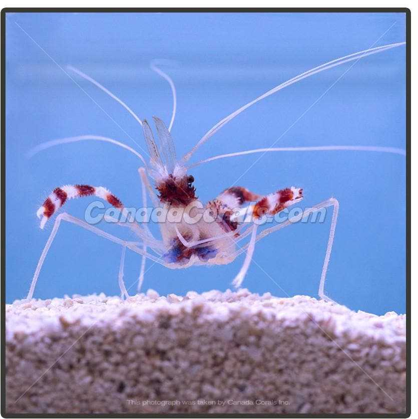 Reef Safe Coral Banded Shrimp