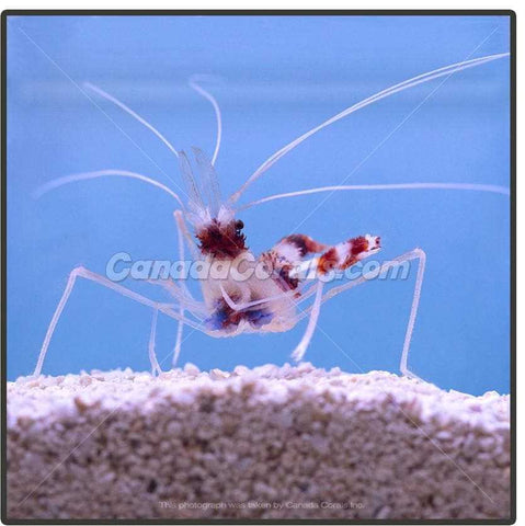 One Claw Reef Safe Coral Banded Shrimp