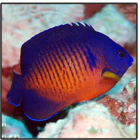 Coral Beauty Angelfish - Canada Corals