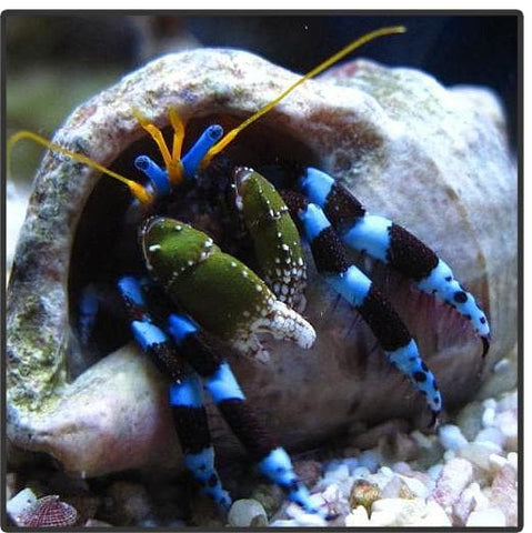 Electric Blue Legged Hermit Crab